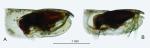 Paraconchoecia echinata (G.W. Müller, 1906)