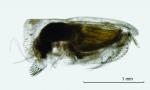 Paraconchoecia inermis Claus, 1890