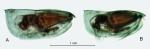 Paraconchoecia oblonga Claus, 1890, form B