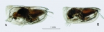Platyconchoecia prosadene (G.W. Müller, 1906)