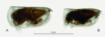 Porroecia spinirostris (Claus, 1874)