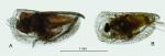 Proceroecia brachyaskos (G.W. Müller, 1906)