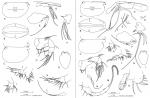 Kyrtoecia kyrtophora (G.W. Müller, 1906)