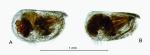 Nasoecia nasotuberculata (G.W. Müller, 1906)