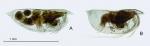 Euconchoecia aff. aculeata elongata G.W. Müller, 1906