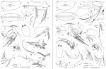 Discoconchoecia tamensis (Poulsen, 1973)