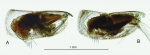 Discoconchoecia aff. tamensis (Poulsen, 1973)