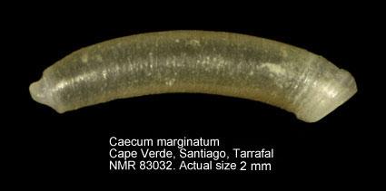Caecum marginatum