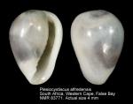 Plesiocystiscus alfredensis