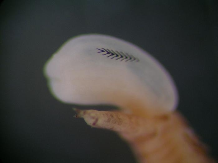 Goniada maculata