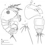 Parategastes pholpunthini sp. n.