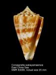 Conasprella wakayamaensis