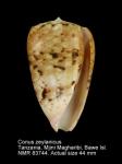 Conus zeylanicus