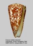 Conus nobilis skinneri