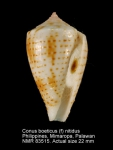 Conus boeticus