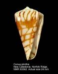 Conus plinthis