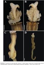 Lamellibrachia sagami body figures