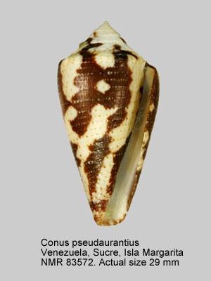 Conus pseudaurantius