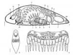 G. shiyanensis Figs 7-9