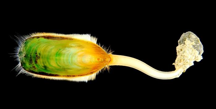 Lingula anatina