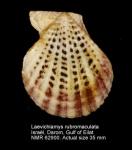 Laevichlamys rubromaculata