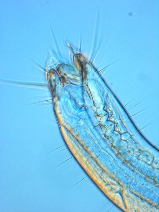 Epacanthion sp.