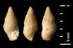 Rissoina multistriata Piette, 1855