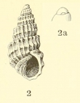 <i>Odostomia (Ividia) navisa</i>, original figure in Dall &amp; Bartsch (1907, pl. 46 fig, 2-2a)