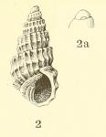Odostomia (Ividia) navisa, original figure in Dall & Bartsch (1907, pl. 46 fig, 2-2a)