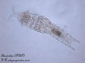 Ameiridae