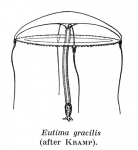 Eutima gracilis, from Kramp (1959)