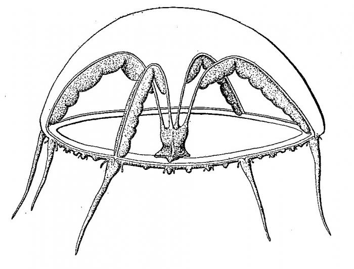 Eutima japonica, from Uchida (1925b)