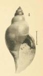 Pleurotoma dalmasi Original figure in Dautzenberg & Fischer, 1897, pl. 3 fig. 4 (actual height 9.4 mm)