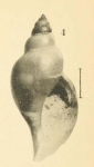 <i>Pleurotoma dalmasi</i></b></b> Original figure in Dautzenberg &amp; Fischer, 1897, pl. 3 fig. 4 (actual height 9.4 mm)