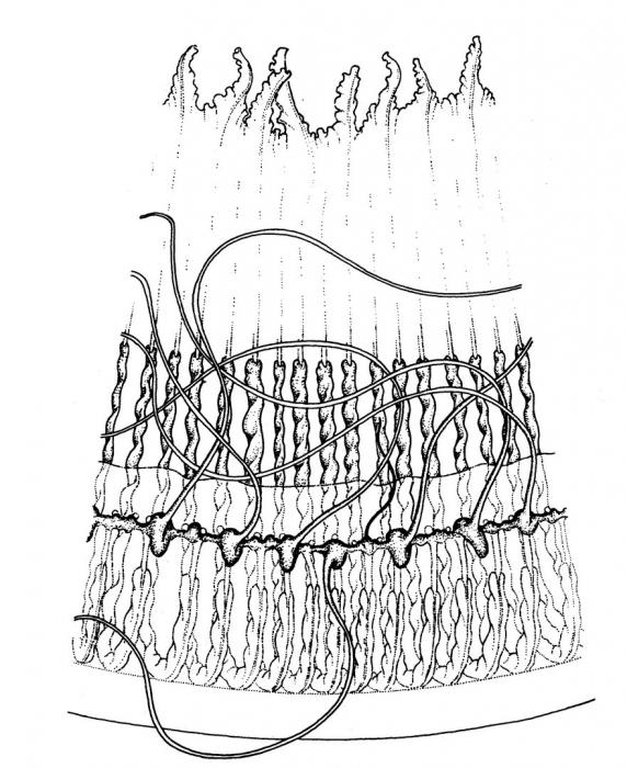 Aequorea krampi, detail of bell rim, from Bouillon (1984b)