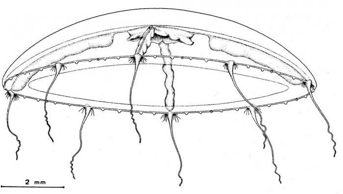 Eucheilota tropica from Bouillon (1984b)