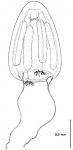 Paralovenia bitentaculata from Bouillon (1984b)