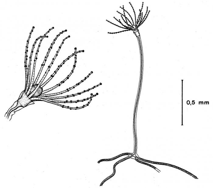 Phialucium mbengha polyps from Bouillon (1984b)
