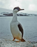 Antarctic Shag (Phalacrocorax atriceps)