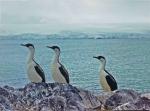 Antarctic Shags (Phalacrocorax atriceps)
