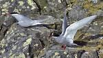 Antarctic Terns (Sterna vittata)