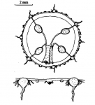 Helgicirrha ovalis from  Huang et al (2010)