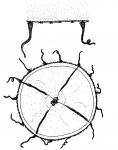 Helgicirrha weaveri from Allwein (1967)
