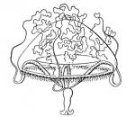 Irenium quadrigatum from  Kramp (1959)