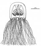 Koellikerina constricta from Bouillon, Boero, Seghers (1988)