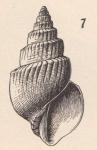 Microstelma gabbi (Dall, 1889)
