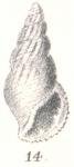 Rissoina evanida G. Nevill & H. Nevill, 1881