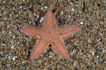 Astropecten irregularis