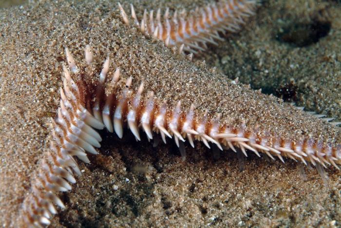 Astropecten platyacanthus