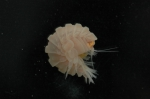 Amphipod